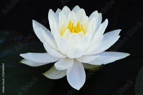 Poster de jardin Nénuphars White lotus