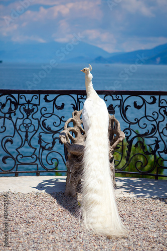 Fotografie, Obraz  white peacock on a chair against a background of mountains and clouds
