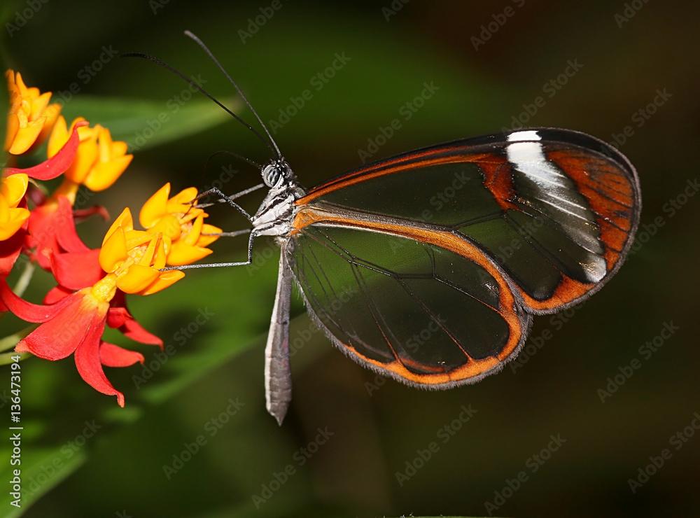 South American Glasswinged butterfly (Greta oto) feeding on a flower
