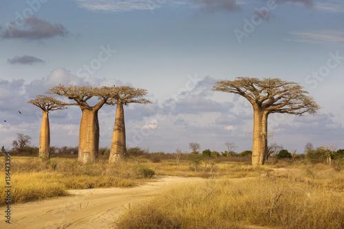 Cuadros en Lienzo Baobab Alley in Madagascar, Africa. Beautiful and colourful land