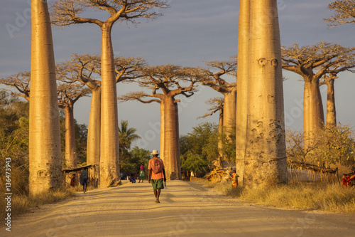 Obraz Baobab Alley in Madagascar, Africa. Beautiful and colourful land - fototapety do salonu