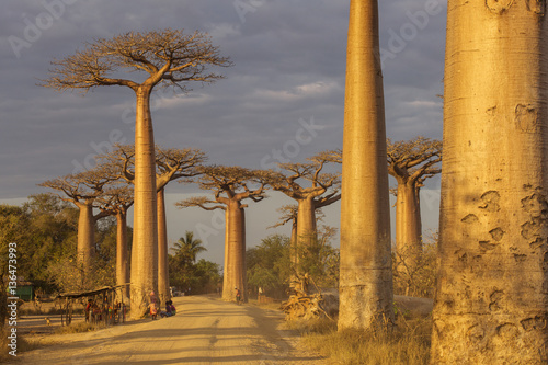 Fototapeta Baobab Alley in Madagascar, Africa. Beautiful and colourful land