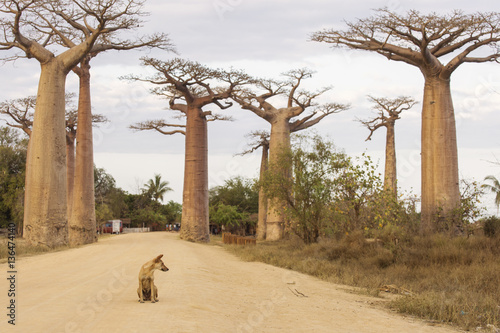 Carta da parati Baobab Alley in Madagascar, Africa. Dog staying on baobab alley.