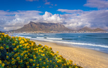 View Of Table Mountain From Milnerton Beach With Beautiful Yellow Flowers, Cape Town, South Africa