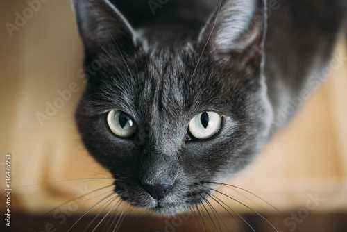 Close-up portrait of black cat