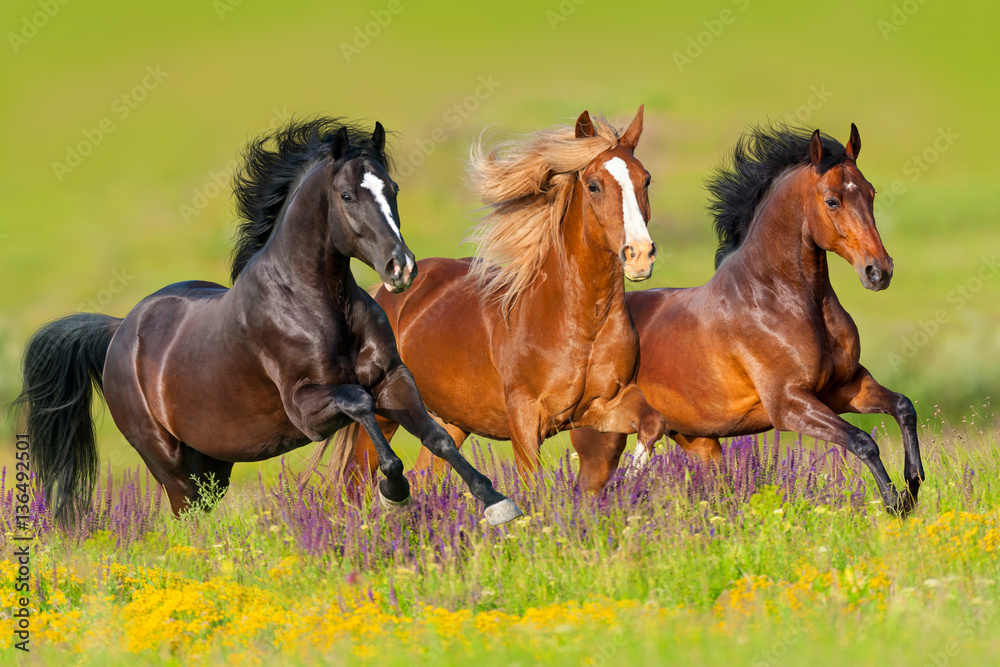 Fototapety, obrazy: Horses run gallop in flower meadow