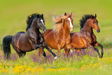 Fototapeta Konie - Horses run gallop in flower meadow