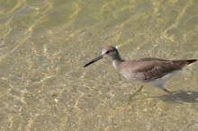 Beautiful Shorebird Wading In ...