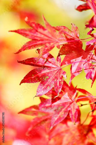 Fotografie, Obraz  Japanese Maple leaves in fall sunlight