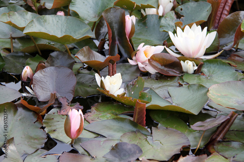 Deurstickers Waterlelies Seerosenteich
