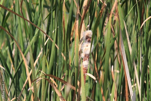 Fotografia, Obraz  View of wild cattail plants in swampy marsh area of Indiana Dunes landscape during autumn season