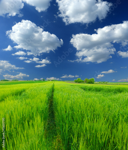In de dag Lime groen green wheat field and clouds