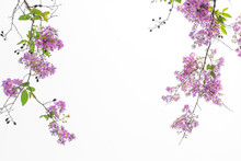 Branches With Pink Flowers Blossoming With White Background