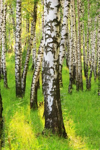 Fototapeta summer in sunny birch forest obraz na płótnie