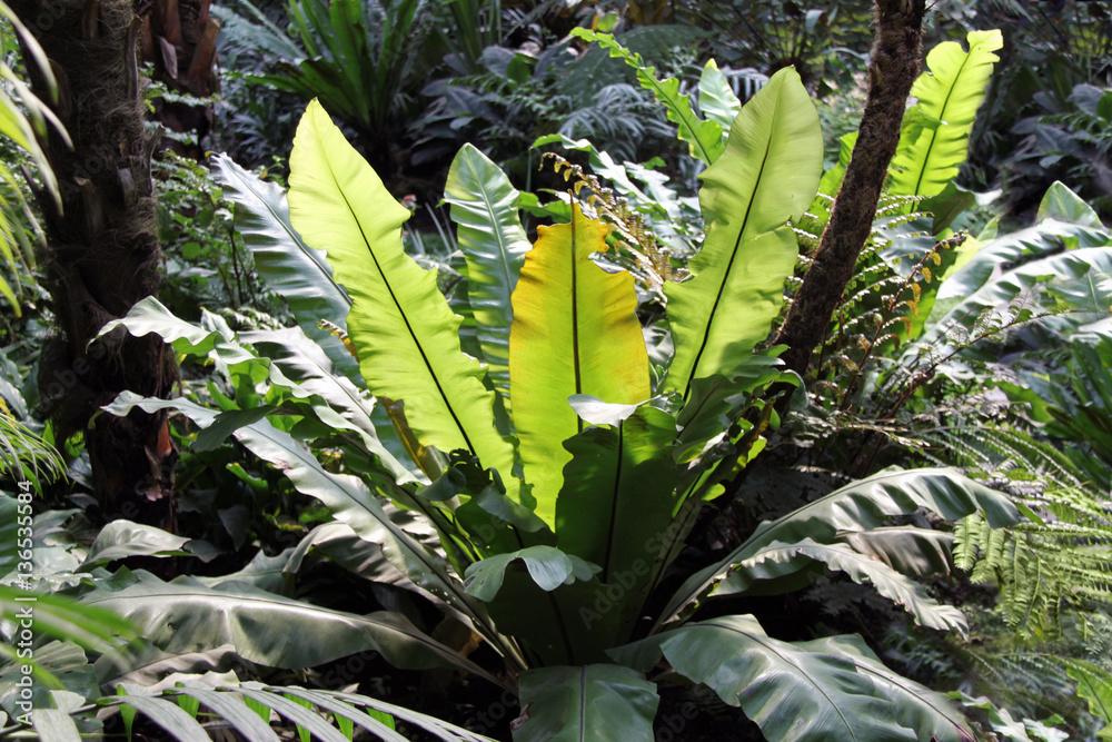 fotografia tropischer regenwald pflanzen nestfarn riesenfarn su. Black Bedroom Furniture Sets. Home Design Ideas