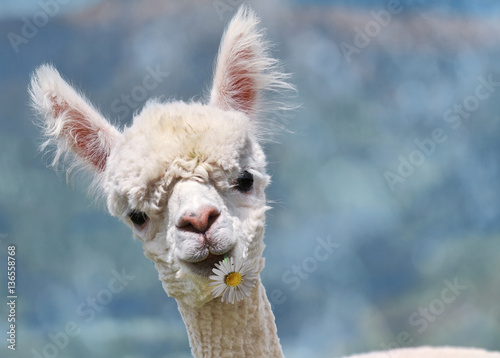 Fotobehang Lama Portrait of white alpaca