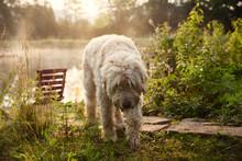 Soft Coated Wheaten Terrier Walking On Grassy Field
