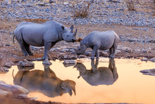 Rhinoceros Drinking In Etosha Park   At Sunset Namibia