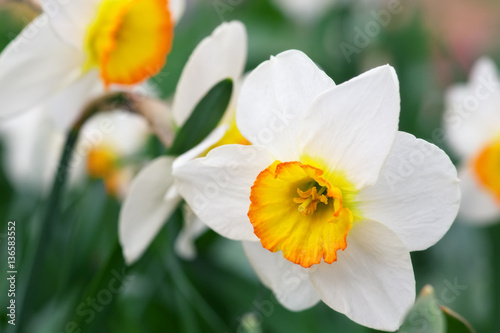 Foto op Plexiglas Narcis White narcissus growing in the garden. Narcissus poeticus