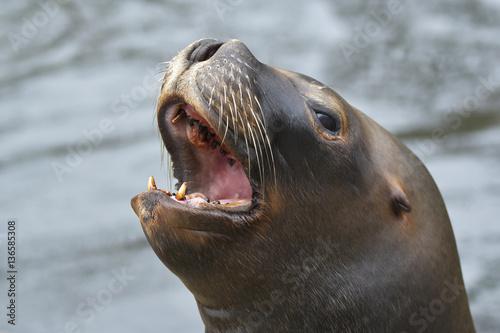 Fototapeta premium Kalifornischer Seelöwe