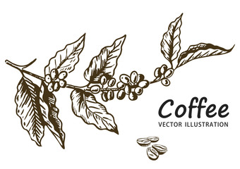 Fototapeta Coffee branch with leaf, berry, coffee bean, fruit, seed. Natural organic caffeine. Hand drawn vector illustration. Illustration on white background for shop. Green coffee.