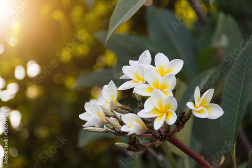 Tuinposter Frangipani Plumeria Plumeria Bouquet closu up, blurred background