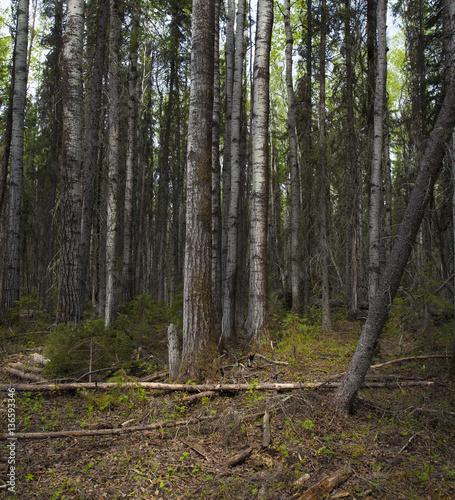Dark forest at first light