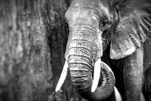 African Elephant In The Tarang...