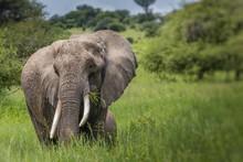 Huge African Elephant Bull In The Tarangire National Park, Tanza