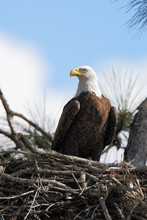 American Bald Eagle (Haliaeetus Leucocephalus) Sitting On Nest, Kissimmee, Florida, USA