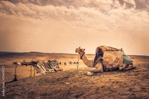 Spoed Fotobehang Kameel Sitting camel at egyptian desert in Cairo