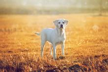 Labrador Retriever Hund Auf Ei...