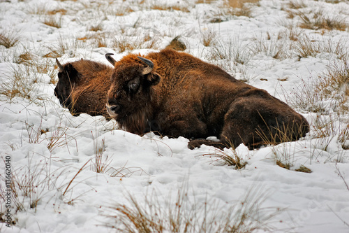 Vászonkép Wisent laying in the snow