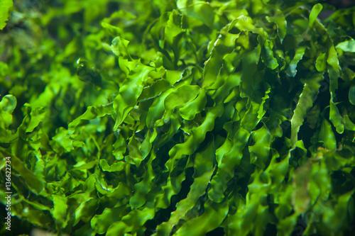 Green seaweed (Ulva compressa).