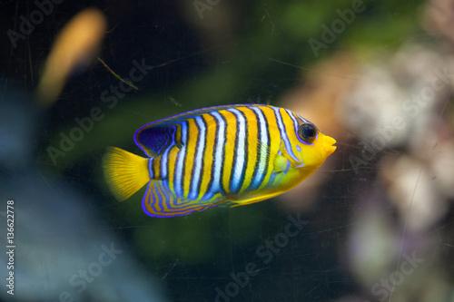 Fototapety, obrazy: Royal angelfish (Pygoplites diacanthus).