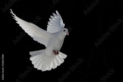 barış güvercini Poster