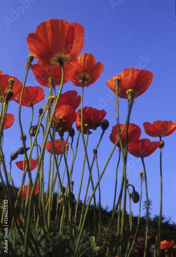Canvas Prints Poppy Papaver croceum / Papaver nudicaule / Pavot d'Islande