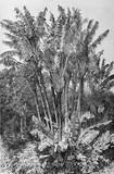Ilustracja botaniczna / Ravenala madagascariensis / Drzewo podróżnika - 136626963