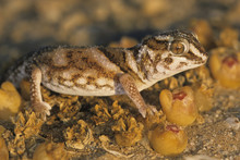 Chondrodactylus Angulifer / Ge...
