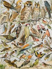Panel Szklany Botaniczne Illustration zoologique / Oiseaux
