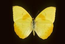 Phoebis Philea / Soufré Géant