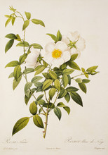 Illustration / Rosa Laevigata ...