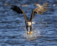 Bald Eagle Rips It's Meal From...