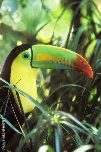 La pose en embrasure Toucan Ramphastos sulfuratus / Toucan à poitrine jaune