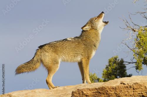 Canis latrans / Coyote Fototapete