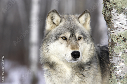Canis lupus / Loup commun