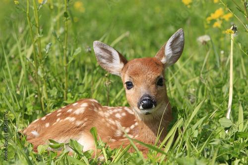Poster Deer Odocoileus virginianus / Cerf de Virginie