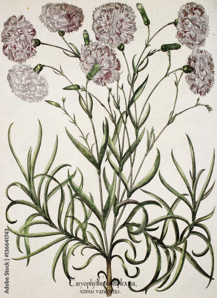 Illustration botanique / Dianthus caryophyllus / Oeillet des fleuristes à fleurs panachées