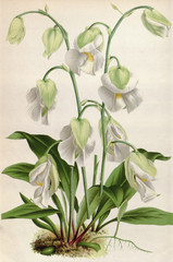 Panel Szklany Botaniczne Illustration botanique / Utricularia alpina / Utriculaire alpine