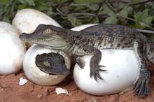Crocodylus Niloticus / Crocodi...
